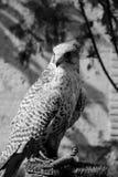 Un halcón Imagen de archivo