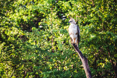 Un halcón con cresta que el águila se encaramó en una rama grande la examina surr del ` s fotografía de archivo libre de regalías