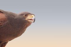 Un halcón en un acuerdo beduino en el desierto de Dubai Imagenes de archivo