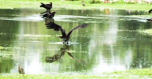 Un halcón está aterrizando en el agua imagen de archivo