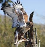 Un halcón ferruginoso en un viejo gancho Fotos de archivo libres de regalías