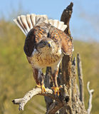 Un halcón ferruginoso en un viejo gancho Imagen de archivo libre de regalías