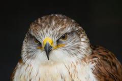 Un halcón ferruginoso hermoso Imagen de archivo