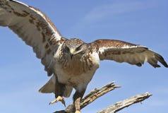 Un halcón ferruginoso en un viejo gancho Fotografía de archivo libre de regalías