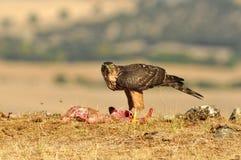 Un halcón joven del águila Foto de archivo
