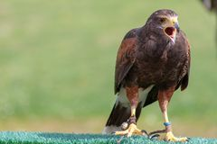 Un halcón que se realiza en la demostración de la cetrería foto de archivo libre de regalías
