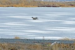 Un halcón que vuela sobre el río imagen de archivo