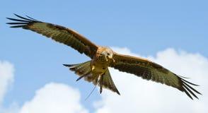 Un halcón zanquilargo fotos de archivo