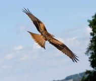 Un halcón zanquilargo fotos de archivo libres de regalías