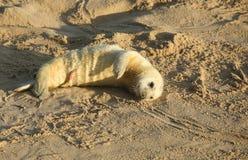 Un halichoerus grypus neonato del cucciolo di Grey Seal che si trova sulla spiaggia un giorno soleggiato ad amante dei cavalli, N Fotografie Stock Libere da Diritti