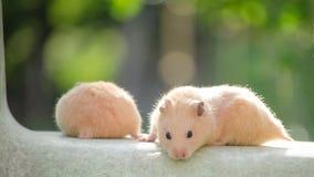 Un hamster mignon dans des mains sûres Photographie stock libre de droits