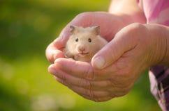 Un hamster mignon dans des mains sûres Photos stock