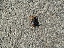 Un hanneton solsticial masculin se trouve sur son dos sur l'asphalte Image libre de droits