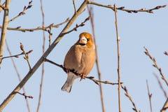 Hawfinch se reposant sur le bois Images libres de droits