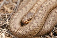 Un headshot d'un austriaca lisse rare de Coronella de serpent a lové dans la broussaille photo stock