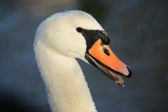Un headshot de un cisne mudo, de un olor hermosos del Cygnus, con las gotitas de agua en su cabeza y cuello con un pico abierto imagen de archivo