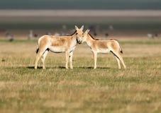Un hemionus femelle d'Equus d'onager avec un poulain se tient sur l'herbe d'or images libres de droits