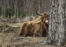 Un higlander dans la forêt Images stock