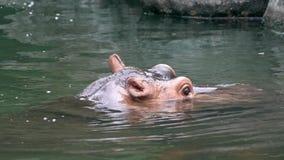 Un hipopótamo común que pega hacia fuera su cabeza del lago de agua dulce Hipop?tamo salvaje almacen de metraje de vídeo