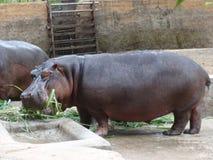 Un hipopótamo de los pares que come la hierba en el parque zoológico imágenes de archivo libres de regalías
