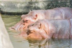 Un hipopótamo dos Imagenes de archivo