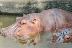 Un hipopótamo dos Fotografía de archivo