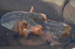 un hipopótamo el dormir en el sol en los yermos Emmen del parque zoológico fotografía de archivo libre de regalías