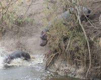 Un hipopótamo grande que resbalaba abajo del banco hacia el río y un segundo se sumergió parcialmente después de estrellarse en e Fotos de archivo libres de regalías