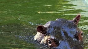 Un hipopótamo prudente se zambulle en una charca en Sunny Day en verano en la cámara lenta almacen de video