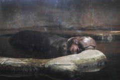 Un hipopótamo que se enfría hacia fuera en un día de verano caliente en Lincoln Park Zoo Chicago, Illinois Fotos de archivo libres de regalías