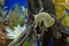 Un hippocampe jaune Photographie stock libre de droits