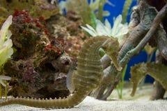Un hippocampe jaune Image libre de droits