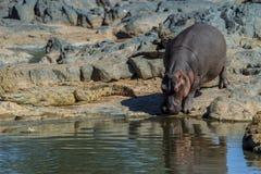 Un hippopotame avec un crocodile du Nil dans son chemin Photos libres de droits