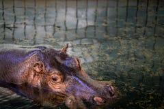 Un hippopotame dans le zoo de Francfort images libres de droits