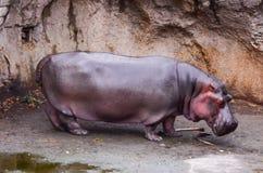 Un hippopotame de rivière (amphibius d'hippopotame) est hors de l'eau Images stock