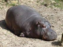 Un hippopotame dormant, détail de peau Image stock