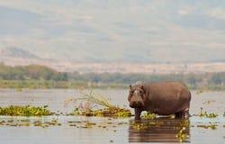 Un Hippopotamus agressif Photos libres de droits