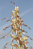 Un hircinum raro del Himantoglossum dell'orchidea di lucertola fotografia stock