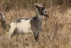 Un hircus del aegagrus del Capra de la cabra que pasta en pasto áspero en un arbusto espinoso fotos de archivo libres de regalías