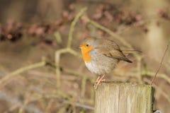 Un hiver Robin sur un courrier Photo libre de droits