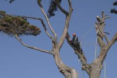 Un hombre atado con una cuerda corta las ramas de un alto del árbol fotos de archivo libres de regalías