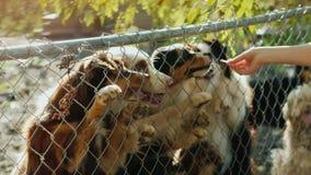 Un hombre da rebanadas sabrosas de comida a los perros en el refugio Los perros despiden arriba para asir la comida almacen de metraje de vídeo