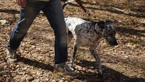 Un hombre en un suéter y pantalones que camina al aire libre con un dalmatian de la raza del perro Hombre que camina con un perro metrajes