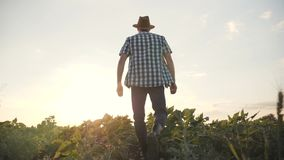 Un hombre está caminando a lo largo de un campo verde en la puesta del sol Hojee los productos agrícolas almacen de video