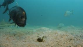 Un hombre hostiga los diversos pescados en el suelo marino almacen de metraje de vídeo
