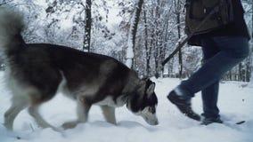 Un hombre que camina con un perro esquimal en el parque que guarda el perro en un correo Paseo del perro al lado del dueño metrajes