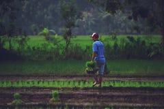 Un hombre que trabaja en campo del arroz Foto de archivo