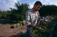 Un hombre que trabaja en una arboleda anaranjada, Palestina Fotos de archivo libres de regalías