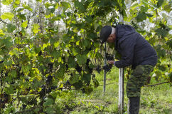 Un hombre recoge la cosecha de la uva Imágenes de archivo libres de regalías
