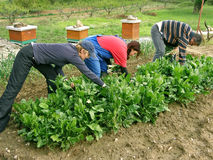 Un hombre y dos mujeres en el cardo de la cosecha del campo Fotografía de archivo libre de regalías